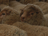 A Group of Sheep Wait to Be Shorn Fotografisk tryk af Nicole Duplaix