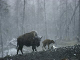 An American Bison Cow with Her Newborn Calf in the Woods Photographic Print