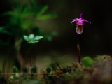 Fairy Slipper Orchid Fotografisk tryk af Mattias Klum