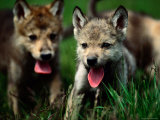 Gray Wolf Pups (Canis Lupus) Photographic Print by Joel Sartore