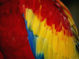 A Close View of the Wing of a Scarlet Macaw Photographic Print by Stephen St. John