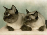 Siamese Cats Photographic Print by Willard Culver