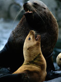 Two Steller Sea Lions Argue over Territory Photographic Print by Joel Sartore