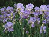Bed of Irises, Provence Region, France Fotografisk tryk af Nicole Duplaix