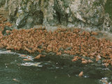Walruses Bask on Coastal Rocks on Round Island Photographic Print
