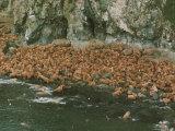 Walruses Bask on Coastal Rocks on Round Island Photographic Print