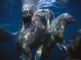 Atlantic Walruses Swim Underwater Photographic Print by Paul Nicklen