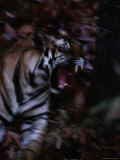 Yawning Bengal Tiger Photographic Print by Michael Nichols