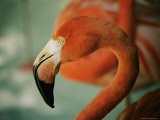 A Close View of the Curved Neck and Beak of a Pink Flamingo Photographic Print
