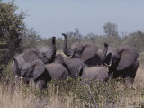 Young Female African Elephants on Alert, Their Trunks Raised to Smell Photographic Print by Nicole Duplaix