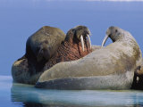 A Large Atlantic Walrus Calf Still Finds Comfort and Safety on its Mothers Back Photographic Print by Paul Nicklen