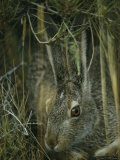 A White-Tailed Jackrabbit Hides in the Grass Photographic Print by Michael S. Quinton
