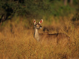Greater Kudu in the Tall Grass Photographic Print by Beverly Joubert