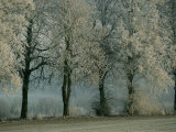 Tree Branches Have a Coating of Frost Photographic Print by Sisse Brimberg