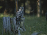 Great Gray Owl, Yellowstone National Park Photographic Print by Raymond Gehman