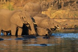 African Elephants Drinking at a Water Hole Photographic Print by Beverly Joubert