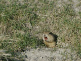 A Prairie Dog Pokes its Head out of a Burrow Entrance Photographic Print by Norbert Rosing