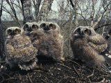 Great Horned Owlets, Five Weeks Old, Stand in a Cluster Photographic Print by Michael S. Quinton