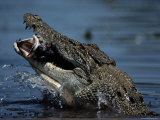 Crocodile Eating a Giant Perch Photographic Print by Belinda Wright