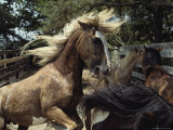 A Chincoteague Stallion Intimidates Other Ponies in His Pen Photographic Print by Medford Taylor