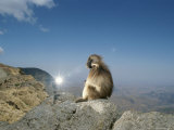 A Gelada Sits Upon a High Promontory Near a Photographers Flash Photographic Print by Michael Nichols