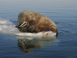 A Female Atlantic Walrus and Infant Rest on an Ice Floe Photographic Print