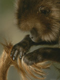 A Female Gelada, Theropithecus Gelada, Grooms Her Mates Tail Photographic Print by Michael Nichols