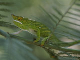 A Chameleon with Yellow Eyes Balances on a Thin Branch Photographic Print by Michael Melford