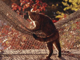 Tabby Cat Caught Climbing on a Net Hammock Photographic Print by Medford Taylor