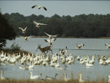 A Deer and Snow Geese in the Chincoteague National Wildlife Refuge Photographic Print by Medford Taylor