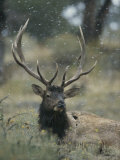 Portrait of an Elk or Wapiti Photographic Print by Norbert Rosing
