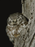 A Boreal Owl with its Prey Photographic Print