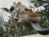 The Long Blue Tongue of a Giraffe Reaches out Toward the Camera Photographic Print