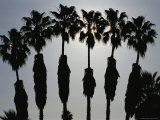 Silhouettes of Six Palm Trees Photographic Print by Stephen St. John