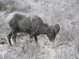 A Bighorn Sheep Ewe Feeds in Upper South Fork, Wyoming Photographic Print by Bobby Model