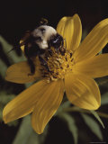 A Bumble Bee Gathers Nectar from a Cosmos-Like Flower Photographic Print by Bates Littlehales