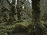 Moss-Covered Trees in the Hoh River Valleys Temperate Rain Forest Fotografisk trykk av Sam Abell