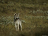 An Alaskan Grey Wolf Prowls for Food Photographic Print