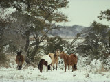 Chincoteague Ponies Forage for Food in the Snowy Assateague Landscape Lámina fotográfica por Medford Taylor