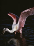 Roseate Spoonbill Photographic Print by Medford Taylor