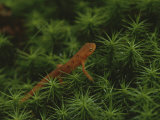 A Red-Spotted Newt, Notophthalmus Viridescens, Crosses a Mossy Patch Photographic Print by Bates Littlehales