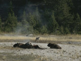 A Bison Calf at Vigil Next to Mothers Carcass While a Coyote Watches Photographic Print by Norbert Rosing