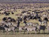 Zebra and Wildebeest Herds, Serengeti Plains, Tanzania Photographic Print by Skip Brown