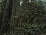A View of Trees in the Temperate Rainforest of the Hoh River Valley Photographic Print by Sam Abell