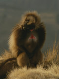 Male Gelada Photographic Print