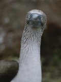 A Close View of a Bluefooted Boobie Bird Photographic Print