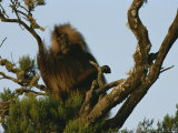A Male Gelada on a Tree Top Perch Photographic Print by Michael Nichols