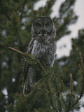 Great Gray Owl in Pelican Valley Photographic Print by Randy Olson