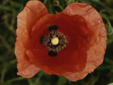 Close View of a Poppy Fotografisk tryk af Nicole Duplaix