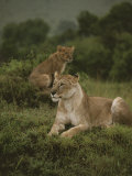 African Lionesses Photographic Print by Anne Keiser